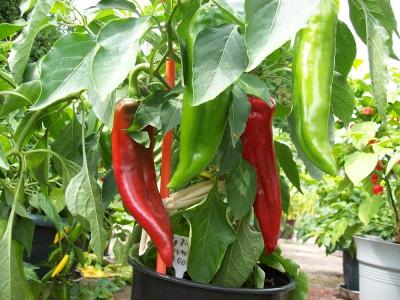 Jak pěstovat chilli papričky
