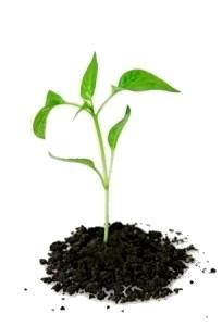 rostlina-chilli-paprika