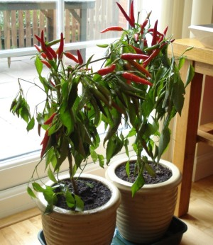 chilli-v-kvetinaci