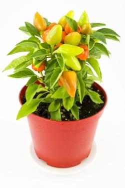 paprika v kvetinaci