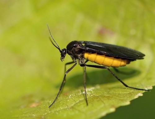 Smutnice (druh komára)