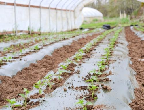 Příprava skleníku na sezónu – dusíkaté vápno