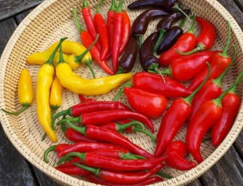 Jak a kdy sklízet chilli papričky?