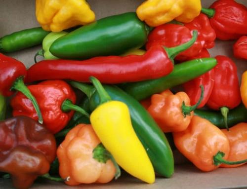 Jak poznám zralé chilli papričky? Jak poznám, že jsou feferonky zralé ke sklizni?
